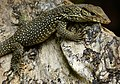 Common Indian Monitor (Varanus bengalensis) juvenile (8687585519).jpg