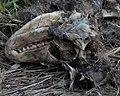 Common Raccoon (Procyon lotor), Dead - Kitchener, Ontario 01.jpg