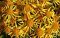 Common Ragwort (Senecio jacobaea) - geograph.org.uk - 537254.jpg