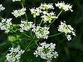 Conium maculatum Kiev2.JPG