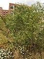 Conium maculatum plant (05).jpg