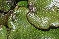 Conocephalum conicum (g, 145025-474547) 6046.JPG