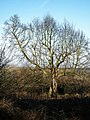 Copped Hall north garden tree, Epping, Essex, England 01.jpg