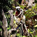 Coquerel's Sifaka Lemurs Park Antananarivo Madagascar - panoramio.jpg