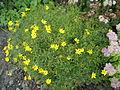 Coreopsis verticillata 0.5 R.jpg