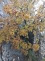 Cornicabra - Pistacia terebinthus L. - IMG 20181117 121626.jpg