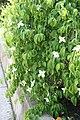 Cornus kousa Lustgarten Weeping 4zz.jpg