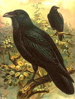 Corvus corax corax (Kpjas).jpg
