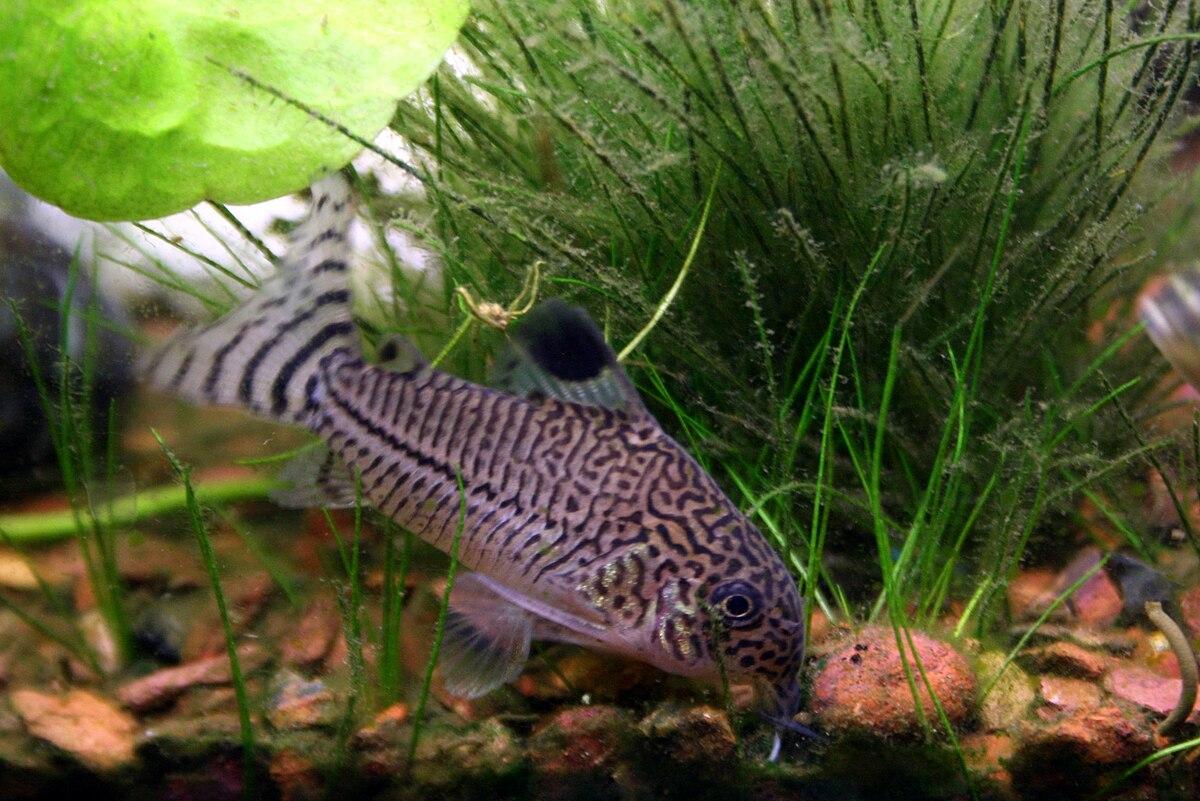 Corydoras julii wikipedia for Cory cat fish