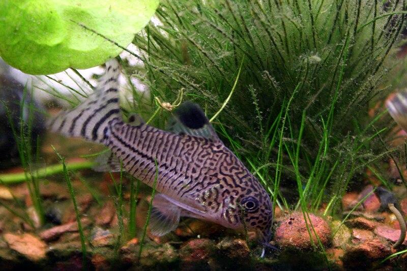 Ver tema compa eros de acuarios para for Aggressive fish for sale