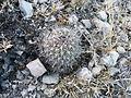 Coryphantha delicata (5716786628).jpg