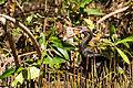 Cotúa olivácea - Neotropic Cormorant (Phalacrocorax brasilianus olivaceus) (11835910534).jpg