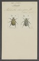 Cotalpa - Print - Iconographia Zoologica - Special Collections University of Amsterdam - UBAINV0274 021 02 0040.tif