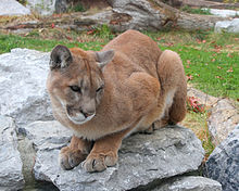 Image result for images of a cougar