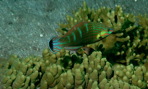 Couple of Tail-spot Wrasses (Halichoeres melanurus) (8456968318)