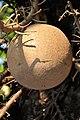 Couroupita guianensis - Murshidabad 2014-11-11 8904.JPG