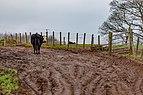 Cow on a farm road, Cumbrae, Scotland.jpg