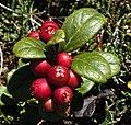 Cowberries in Switzerland.jpg