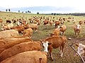 Cows waiting for food, Padang Mangatas.jpg