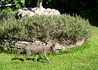 Coyote with mange.jpg