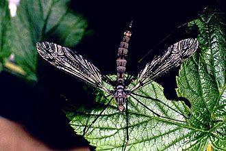 Tipulomorpha - Crane fly