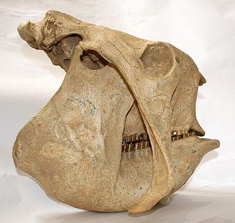 Glyptodon - Skull in side view