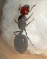 Crematogaster scutellaris queen Eveha.jpg