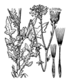 Crepis foetida illustration (01).png