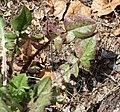 Crepis foetida leaf (09).jpg