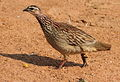 Crested Francolin, Dendroperdix sephaena at Borakalalo National Park, South Africa (9937729904).jpg