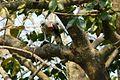 Crested Goshawk. (Accipiter trivirgatus) - Flickr - gailhampshire.jpg