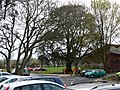 Crewkerne , Oak Tree and Car Park - geograph.org.uk - 1259308.jpg