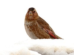 Crimson-winged-Finch 2.jpg