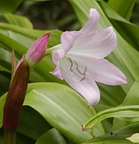 Crinum moorei close