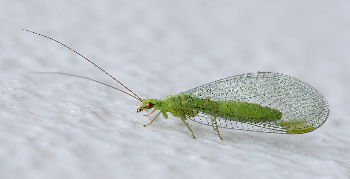 Neuroptera - Wikipedia