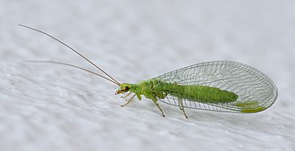 Neuroptera - Green lacewing