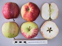 Cross section of Bellefleur Kitaika, National Fruit Collection (acc. 1975-341).jpg
