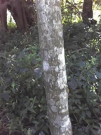 Croton sylvaticus - Image: Croton sylvaticus young stem