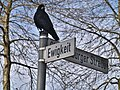 Crow on street sign.jpg