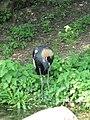 Crowned Crane (540049060).jpg