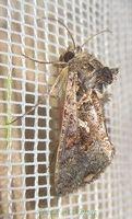 <i>Ctenoplusia limbirena</i> species of moth