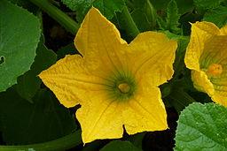 Cucurbita pepo, blossom