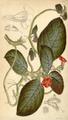 Curtis's Botanical Magazine, Plate 4312 (Volume 73, 1847).png