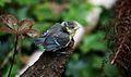 Cyanistes caeruleus -Norfolk, England -chick-8.jpg