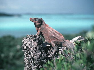 Cyclura - Acklin's Island iguana basking on a rock
