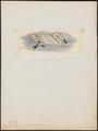 Cygnus americanus - 1820-1863 - Print - Iconographia Zoologica - Special Collections University of Amsterdam - UBA01 IZ17600239.tif
