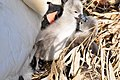 Cygnus olor (Küken) - Arboretum 2011-05-28 18-13-14.JPG