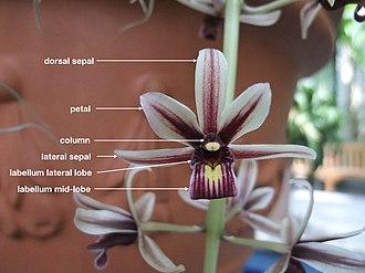 Cymbidium - Labelled image of Cymbidium aloifolium