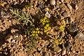 Cymopterus glomeratus - Flickr - aspidoscelis (5).jpg