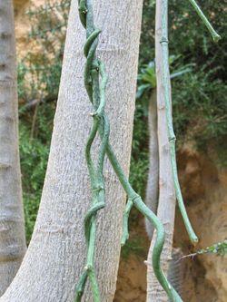 Cynanchum aphyllum.JPG